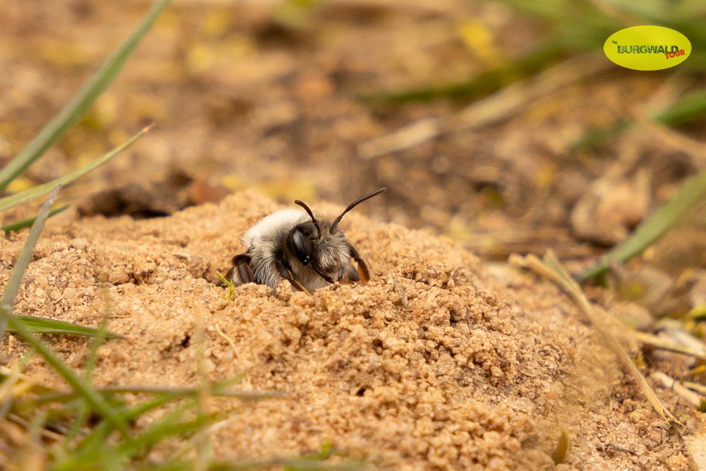 Sandbiene kündigt den Frühling an